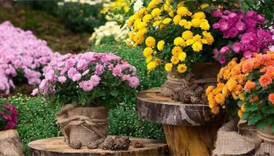 Chryzantémy – nádherné květy i na konci podzimu