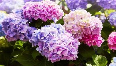 Hortenzie velkolistá – snadná péče a bohaté květy