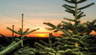 Příběh vánočního stromečku od semínka po Štědrý večer