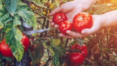 Odrůdy rajčat