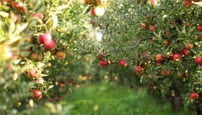Správný řez ovocných stromů a keřů