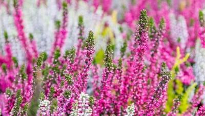 Vřesy zkrášlí vaši zahradu po celý rok