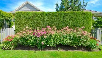 Živý plot poskytne soukromí i ochranu před větrem